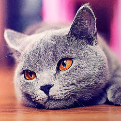 beautiful burmese cat lying on the floor with amber eyes