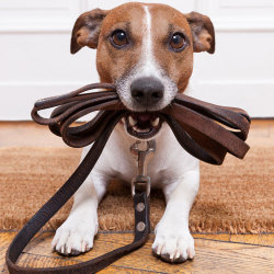 image of jack russell terrier with leash in mouth
