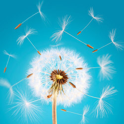 image of dandelion tufts blowing in wind on blue background