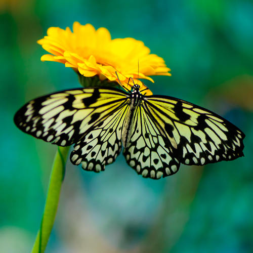image of a beautiful yellow and black butterfly representing animal messages