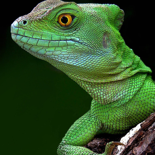 image of a beautiful green goanna