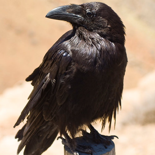 image of a beautiful black crow representing animal totem