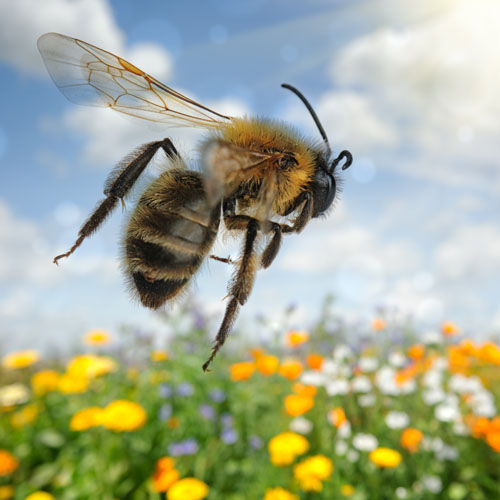 image of a bee flying low above bright yellow flowers
