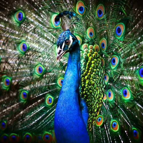 image of a beautiful peacock