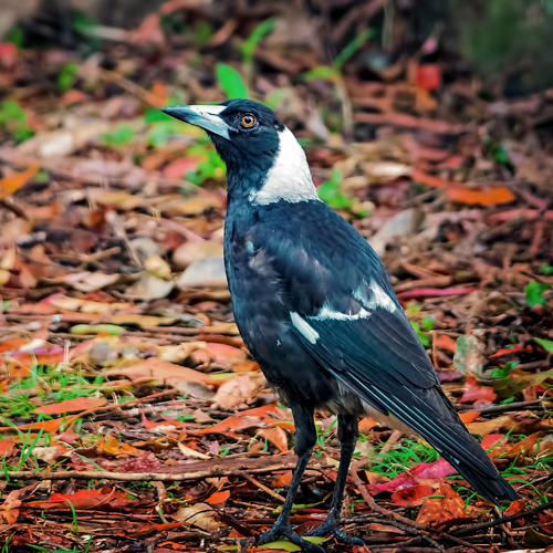 image of an australian magpie in autumn leaves