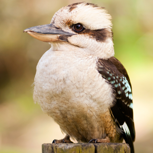 image of a beautiful kookaburra on a log