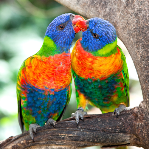 image of two beautiful parrot lorikeets grooming each other
