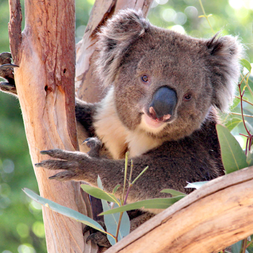 image of a brown koala in the gum tree