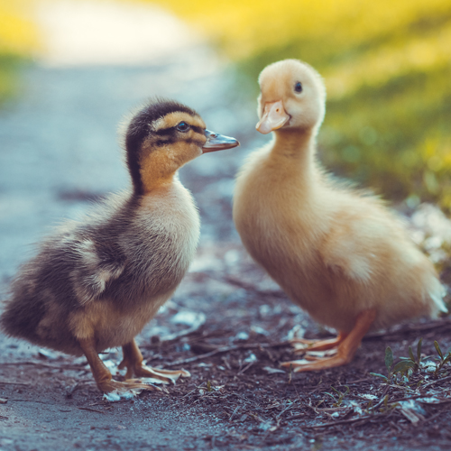 image of two fluffy yellow ducks in the grass