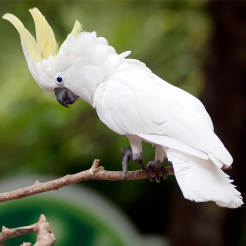 image of a white sulphur crested cockatoo